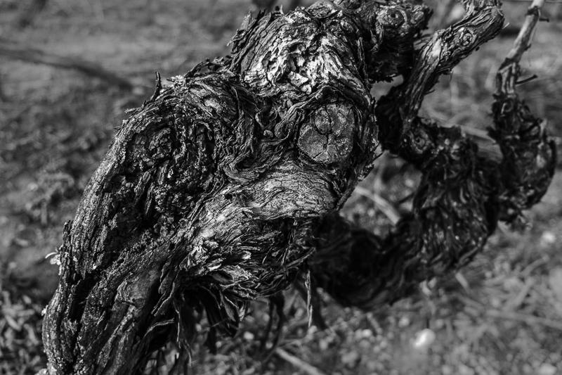 cep de vigne - Ptérodactyle © Jean-Yves Bardin 2013