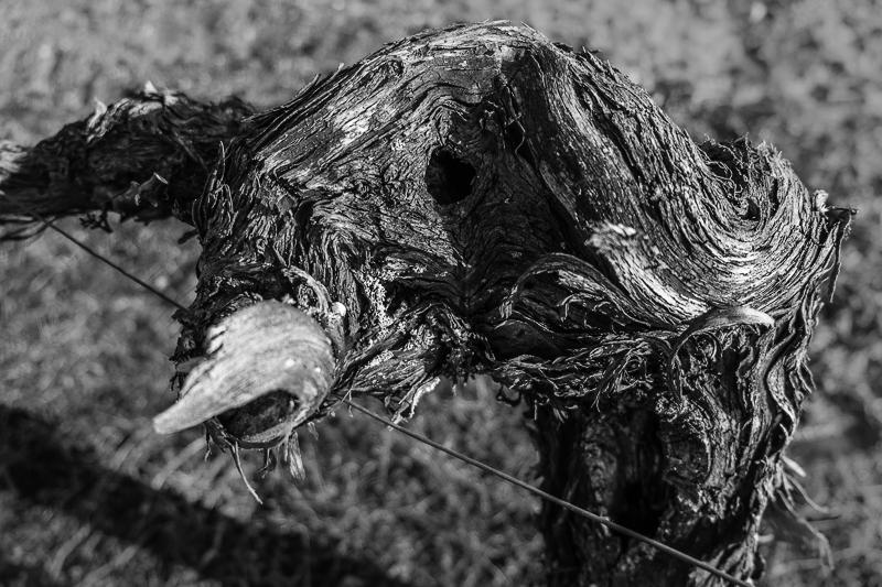 cep de vigne - Buffle © Jean-Yves Bardin 2013