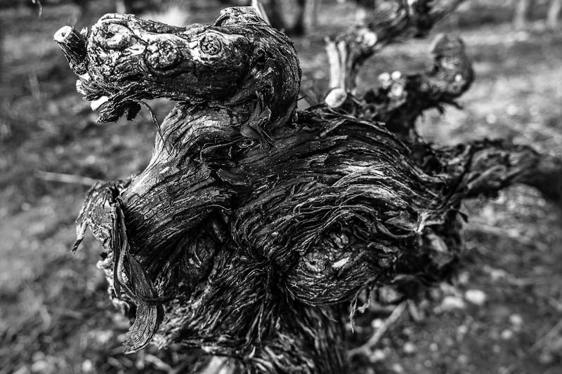 cep de vigne - Dragon © Jean-Yves Bardin 2013