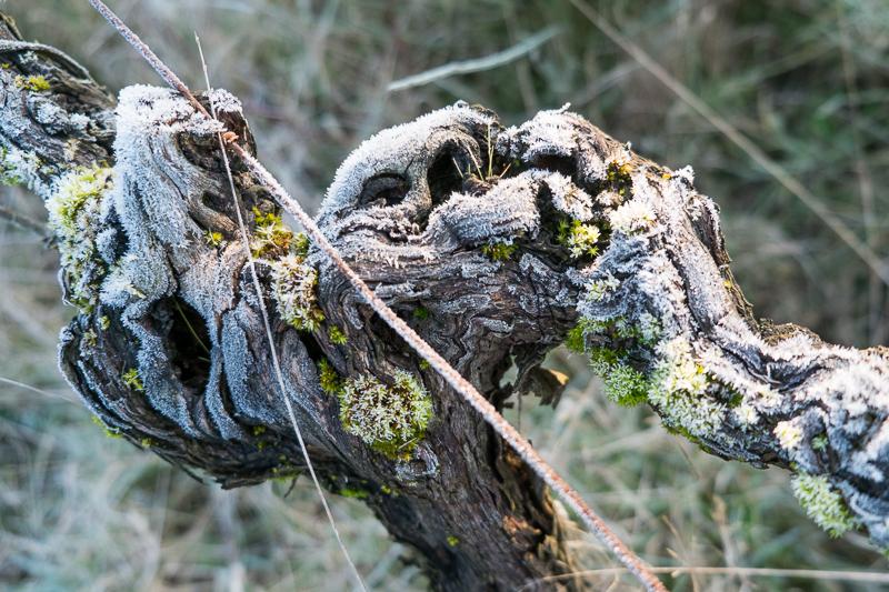 cep de vigne - Thouarcé © Jean-Yves Bardin 2013