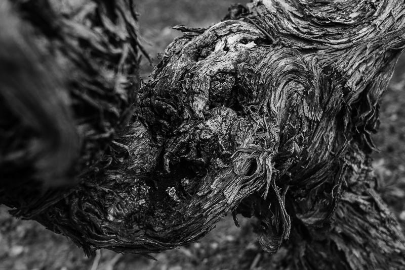 cep de vigne - carnassier © Jean-Yves Bardin 2012