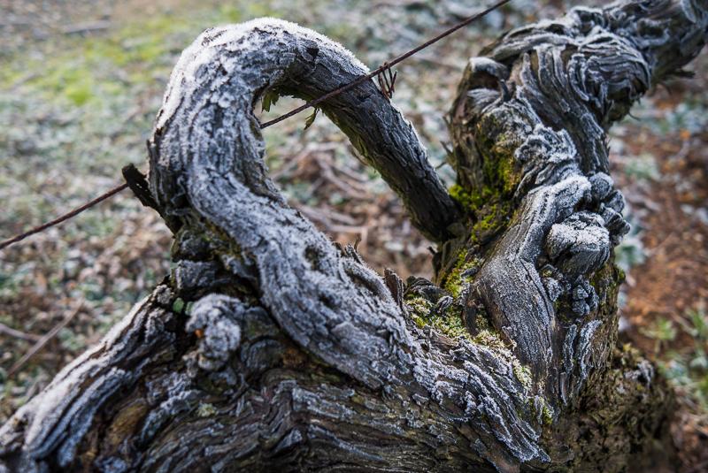 cep de vigne - Beaulieu sur Layon © Jean-Yves Bardin 2012
