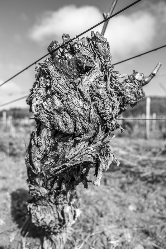 ceps de vigne, vigne, bestiaire, photographe Jean-Yves bardin, pieds de vigne, vineyard photography, jybardin.wordpress.com